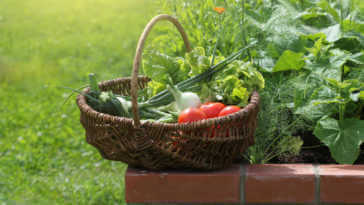 Basket of veggies on a raised bed
