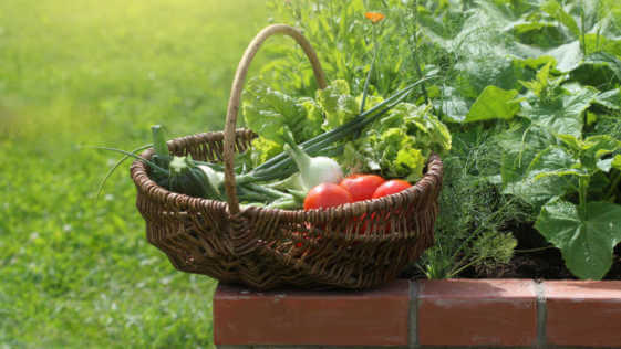 Basket of veggies on a raised bed