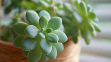 Tender Echeveria succulent plant in a hanging twine pot