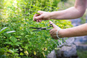 Woman cutting oregano plant with scissors.