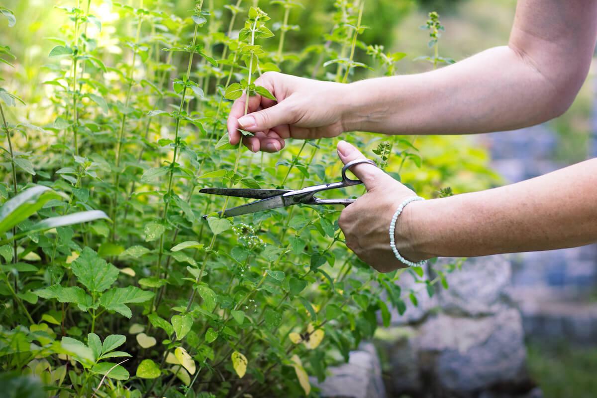 Woman cutting oregano plant with scissors.