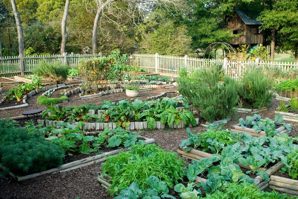 Raised beds vegetable garden.