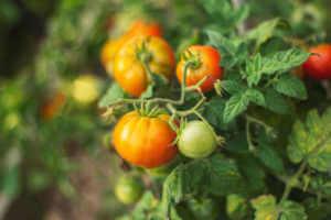 Orange tomatoes growing on a vine