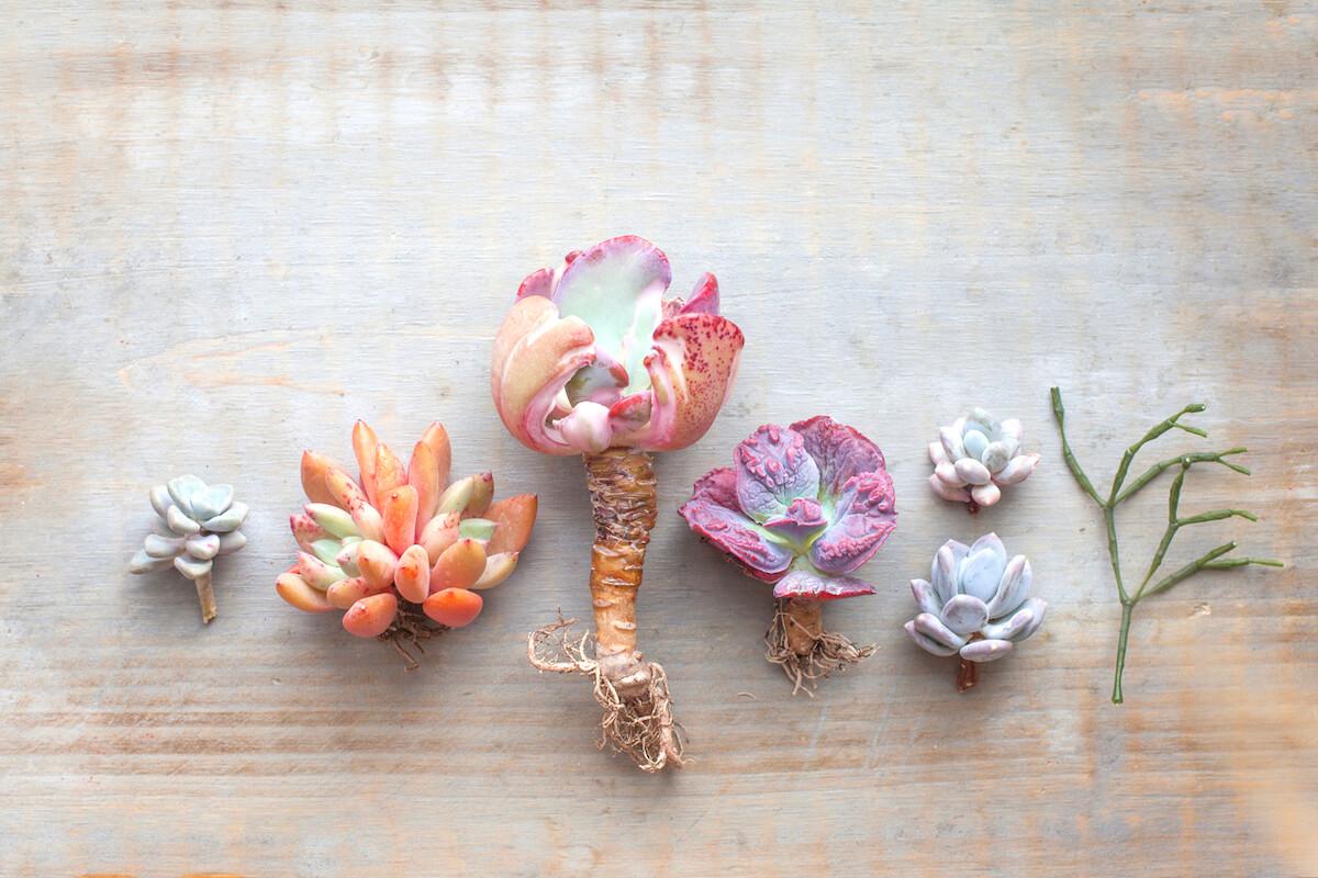 pastel color succulent echeveria plants on top of wooden surface.