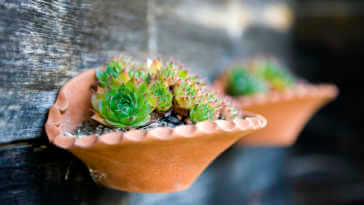 Small sempervivums in hanging pots on wall.