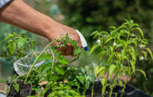 Man spraying herbs in his vegetable garden.