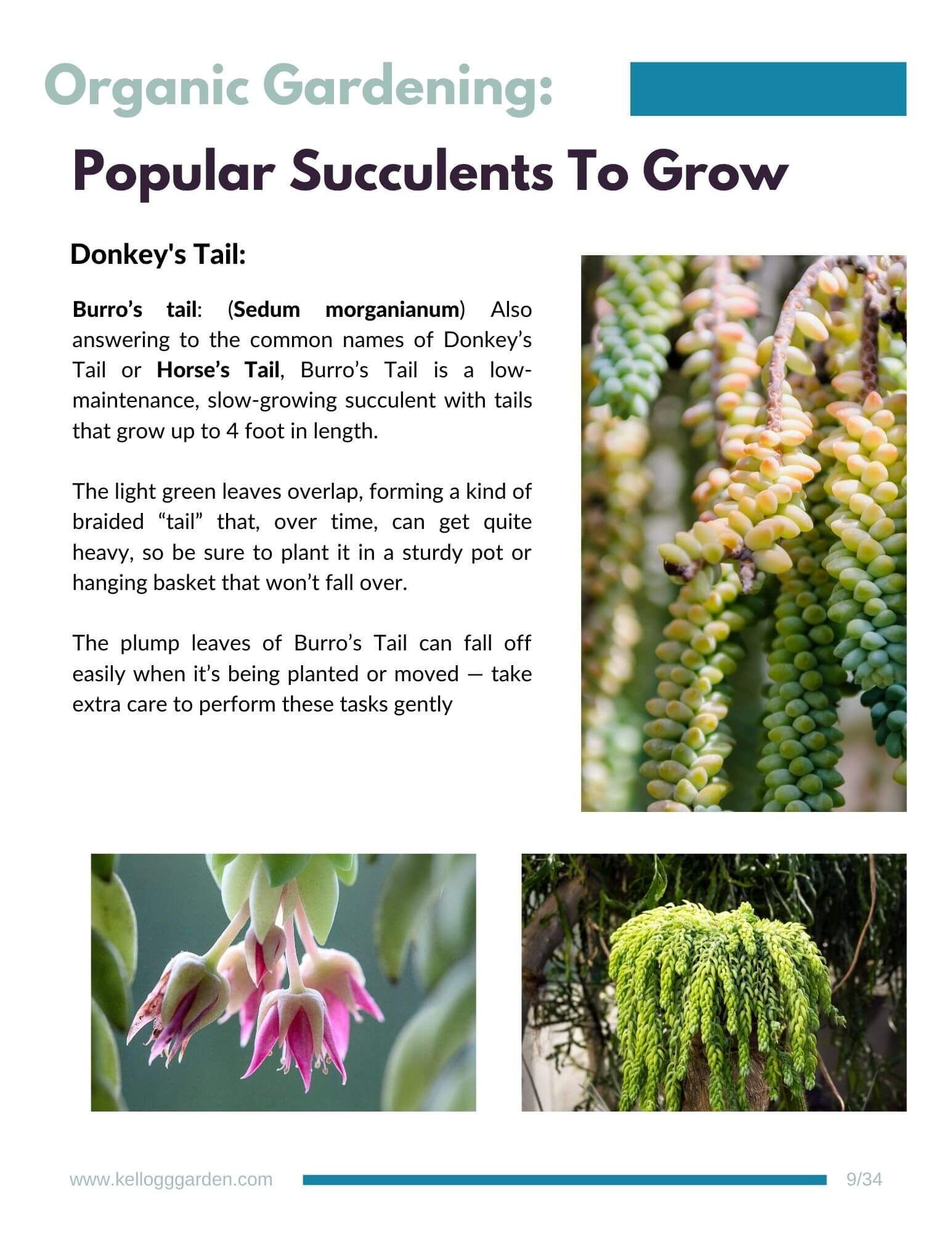 donkey's tail succulent growing and in bloom