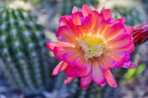 An echinocero hedgehog cactus in bloom in a garden.