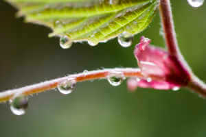 Dogwood with water droplets after a rain