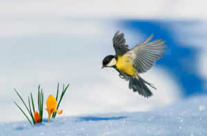 little bird tit flies up to growing out of the snow bright yellow snowdrops in the spring Park