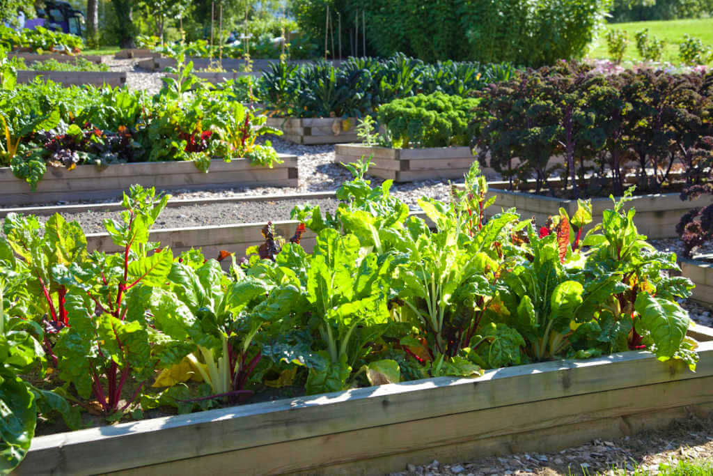 plants growing in raised beds