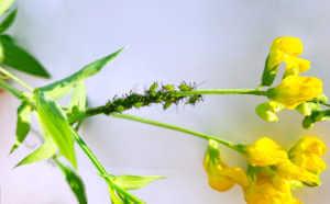 Black Aphids on a flower stem