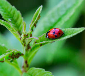 Lady bug with colony of aphids on a plant