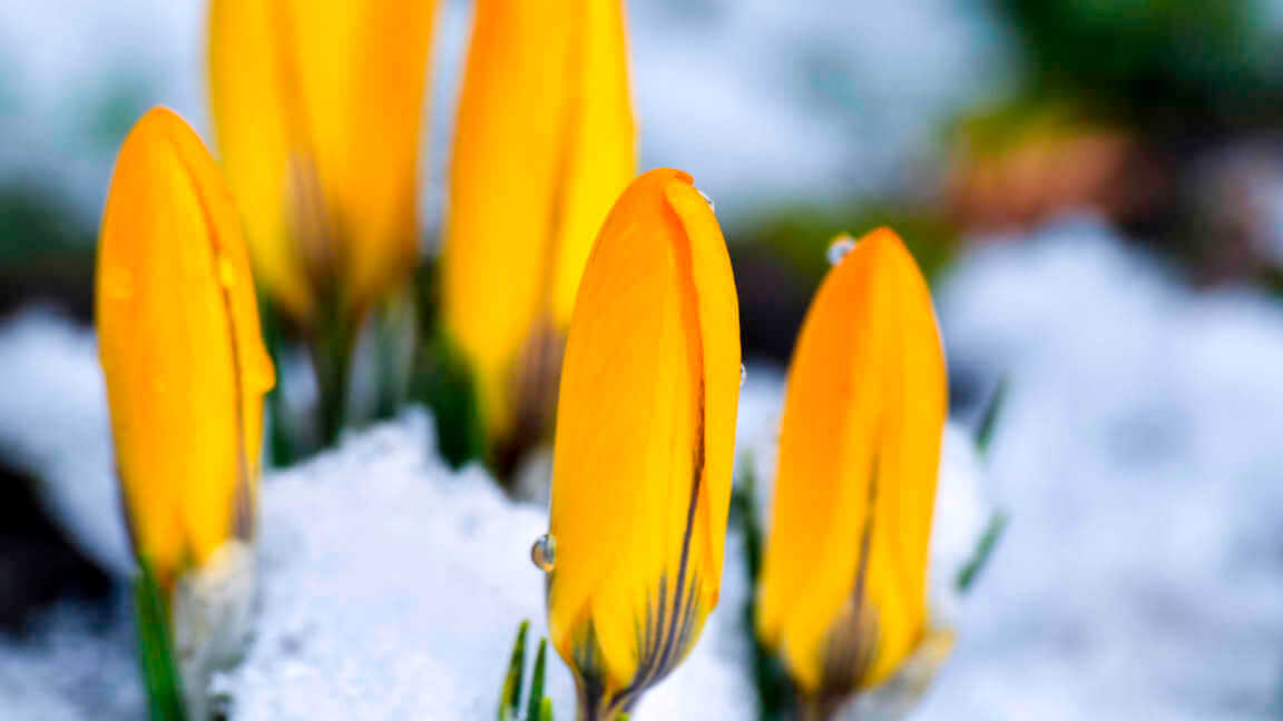 The first yellow spring flowers in snow.