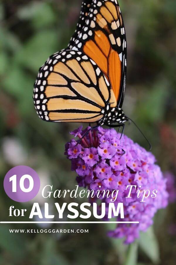 Butterfly on purple alyssum
