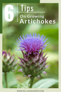close up on a blooming artichoke
