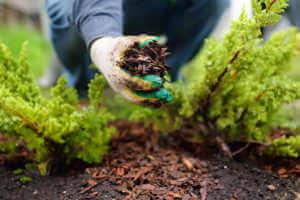 Gardener mulching with pine bark juniper plants in the yard.