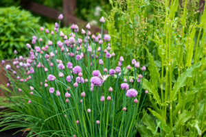Lush flowering chives in the garden.
