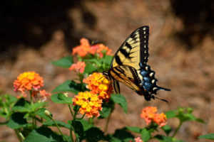 Tiger Swallowtail butterfly on top of Lantana Flowers