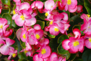 a close up of pink begonia flowers.