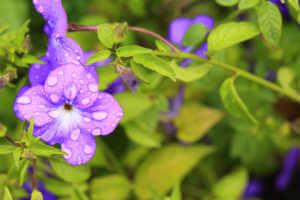 a browallia purple flower recently watered.