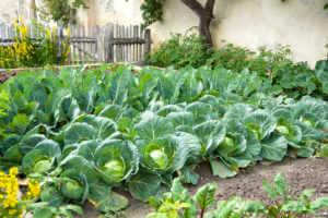 Organic Head Cabbage in a cottage garden.