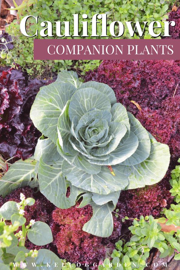 Cauliflower plant in vegetable garden.