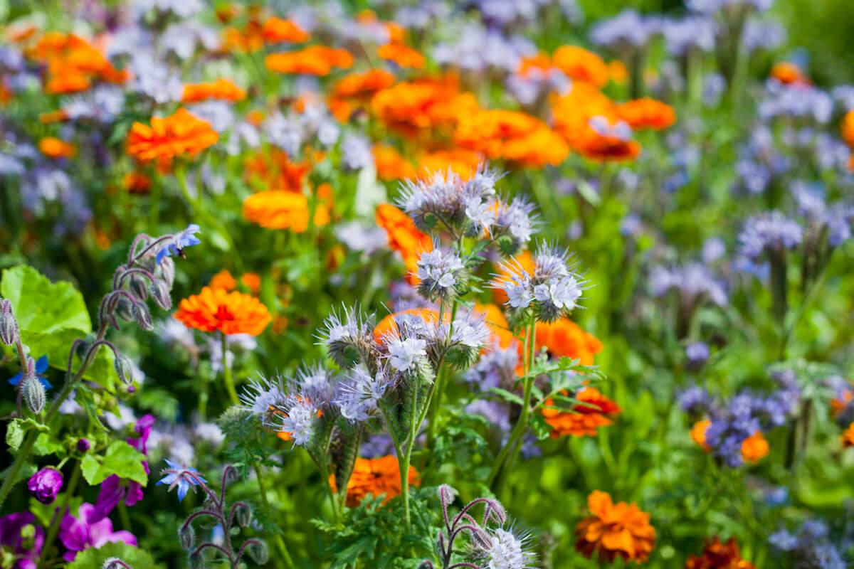 English marigold blooming in the herbal medicinal garden.