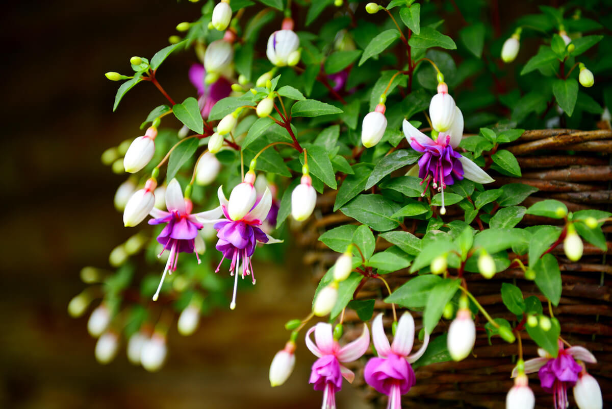 fuchsia flowers in the garden, hanging in a basket.