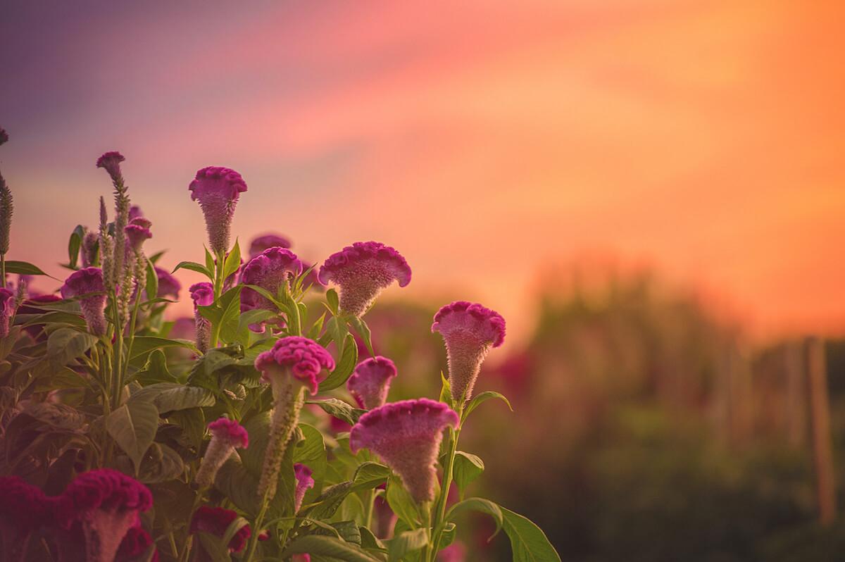 Pink Celosia garden at Sunset