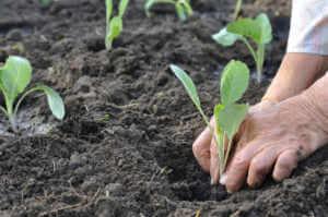 gardener's hands planting a cabbage seedling
