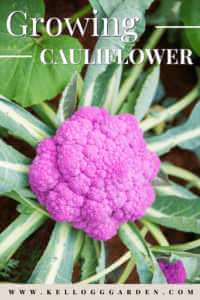 close up of purple cauliflower growing in garden.