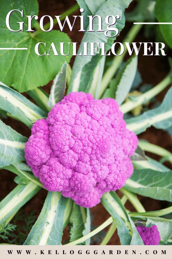 close up of purple cauliflower growing in garden.