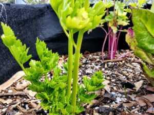 Celery plant in soil.