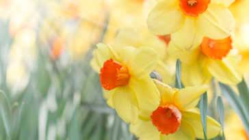 Three yellow and orange daffodils in the sunlight