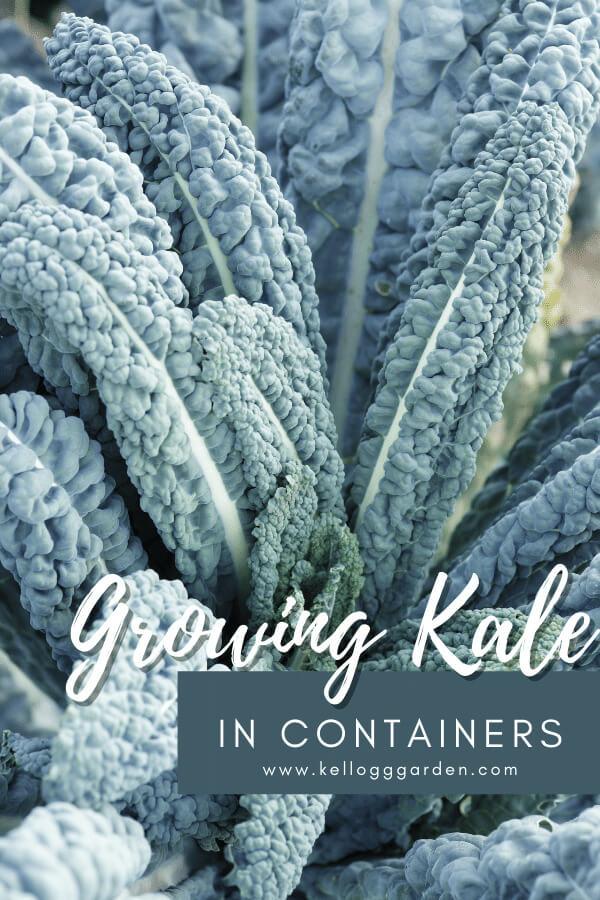 green kale plant in garden.