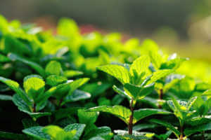 green mint crops in growth at garden.