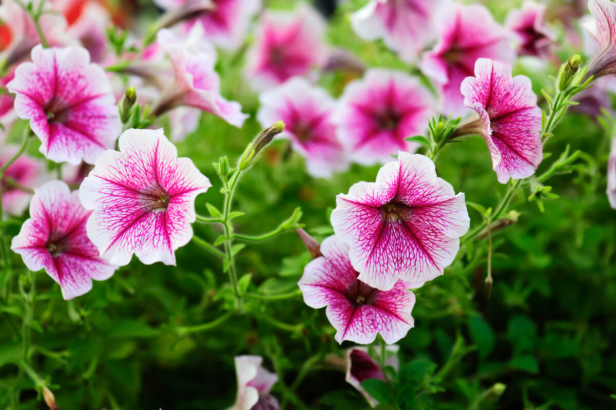 Petunia flowers that are growing in a garden.