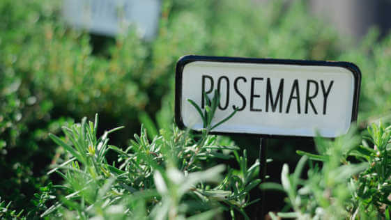 home-grown rosemary plant with a rosemary sign.