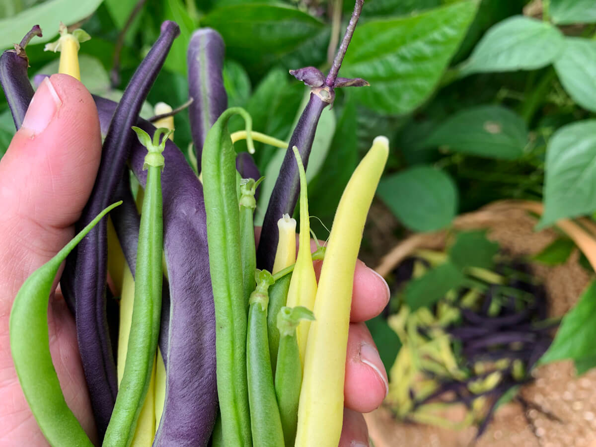 Freshly harvested green, yellow and purple beans from organic garden.
