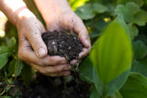 Closeup image of old woman with handful of soil in garden.
