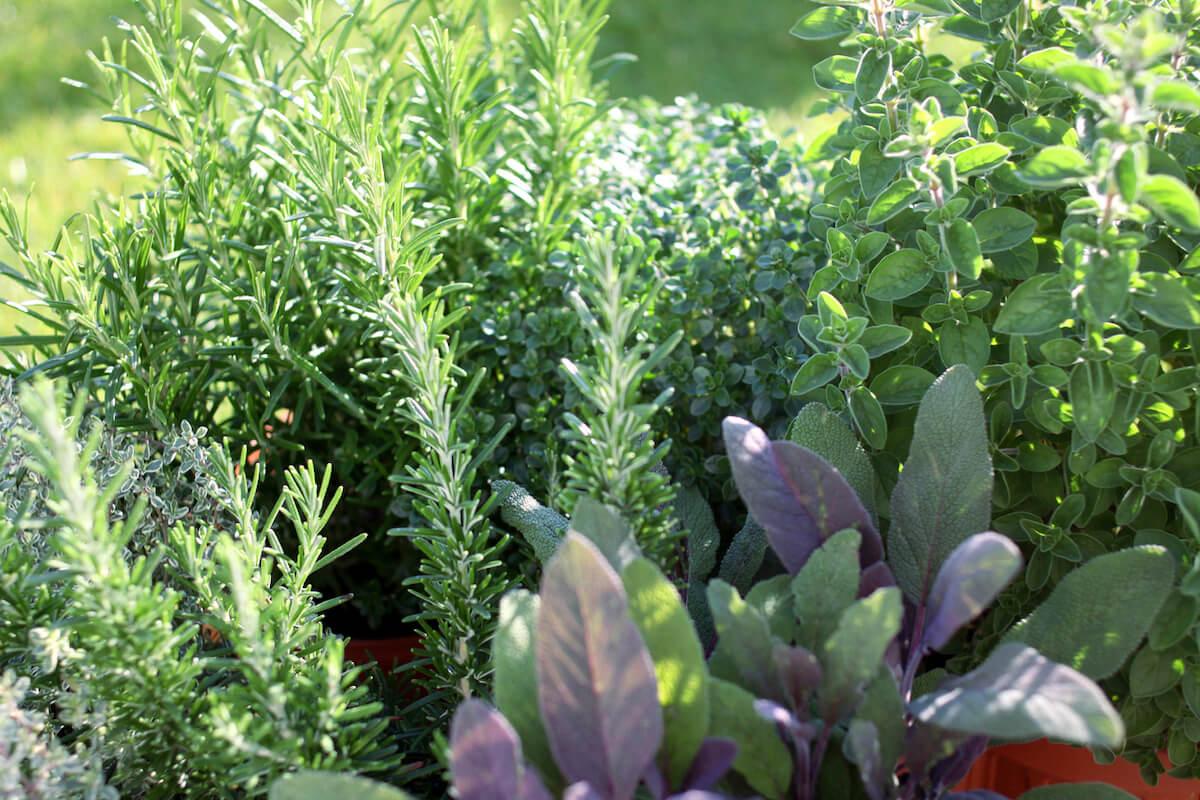 Small herb garden.