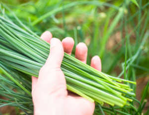 Chive harvest in a hand