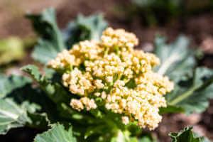 Young Cauliflower growing in an organic garden