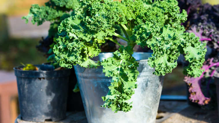 Green kale plant in zinc planter or pot.