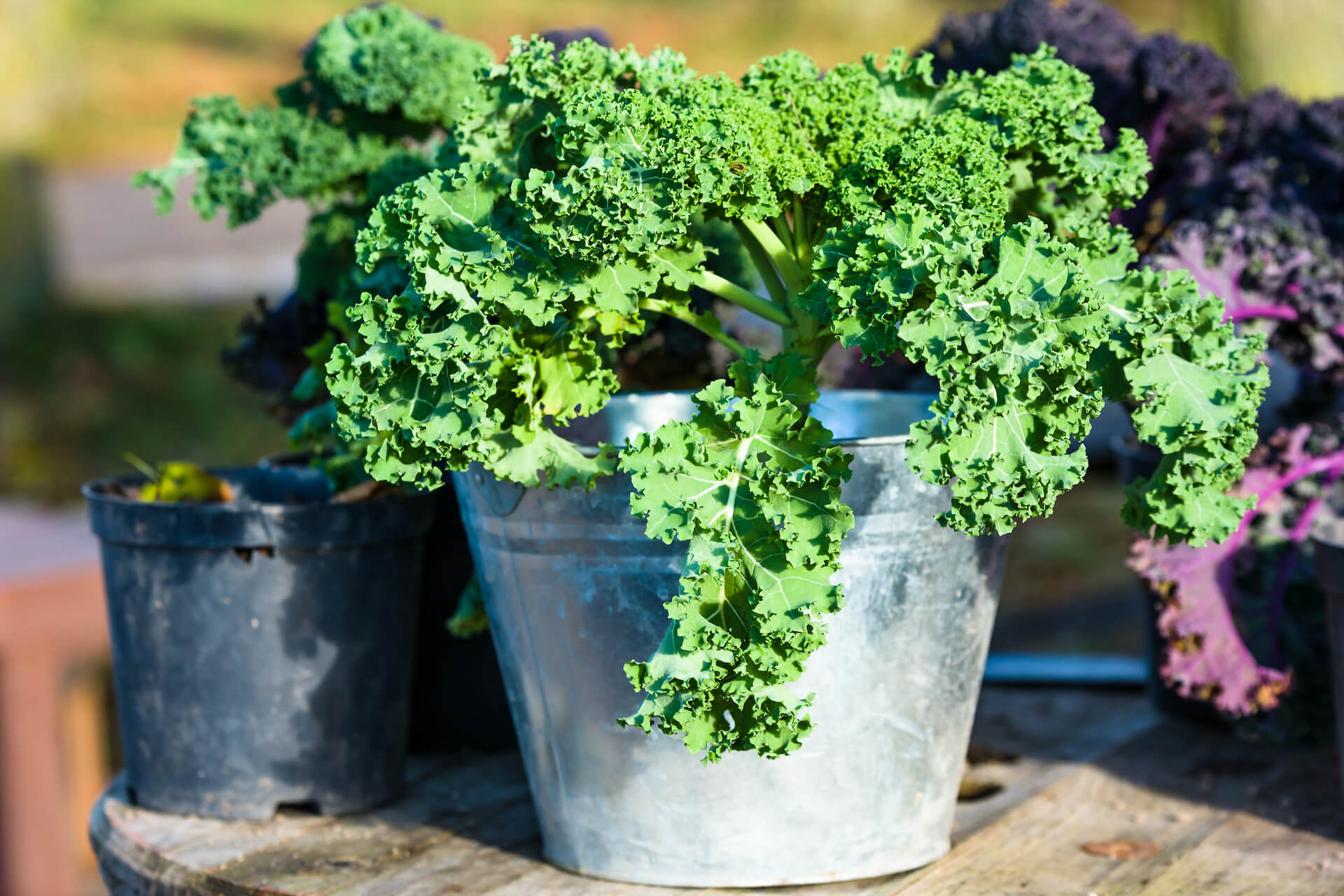 Green kale plant in zinc planter or pot.