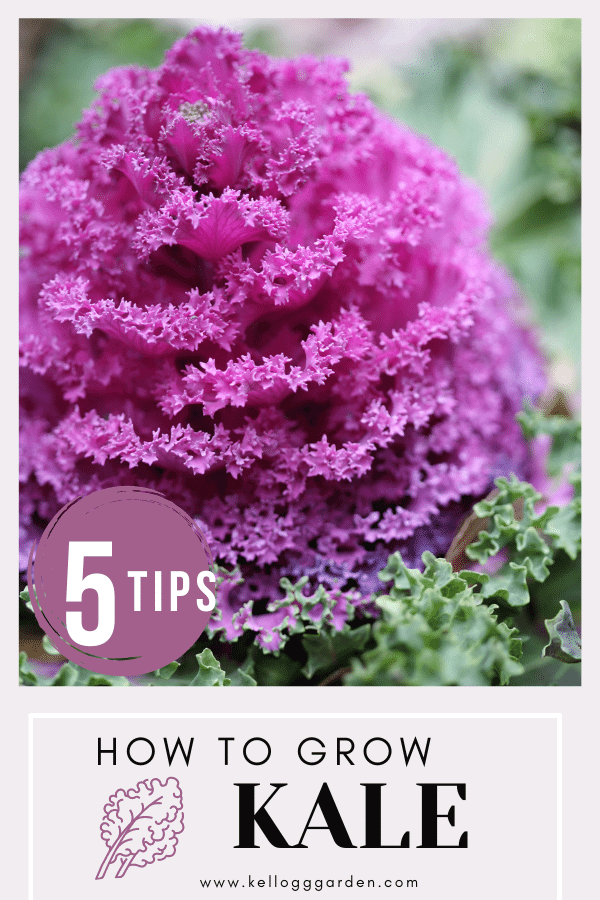 Close up of purple kale in garden.