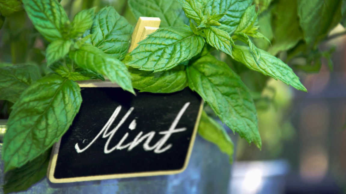 Stems of mint homegrown in metal container.