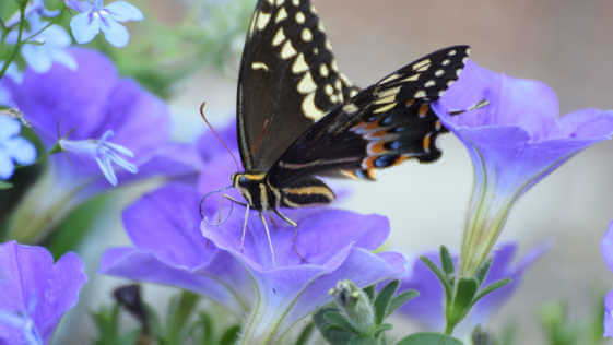 swallowtail butterfly foraging a fragrant petunia flower
