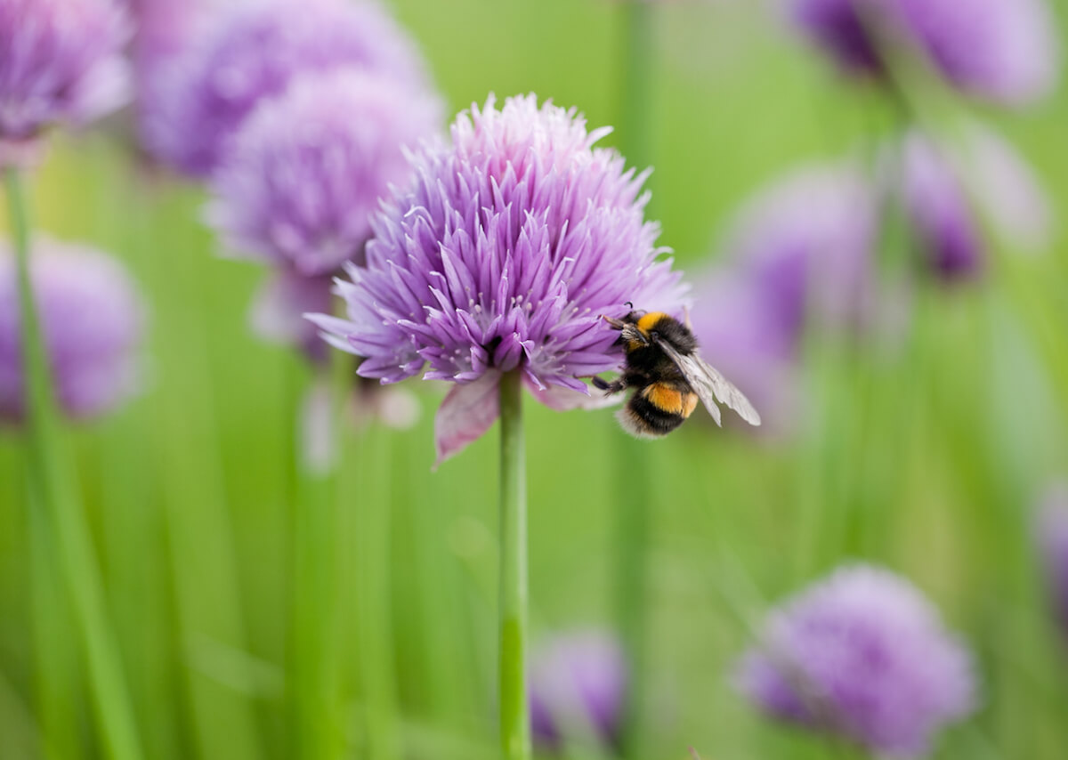 Bumble bee on chive flower